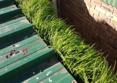 Gutter grass